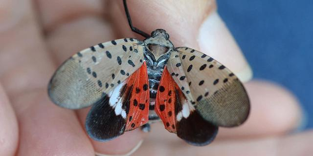 A picture of the spotted lanternfly.